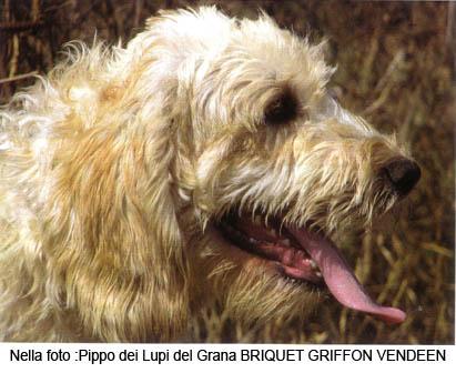 Briquet Griffon Vendéen